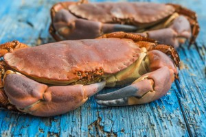 Boiled crab on blue rustic wooden background